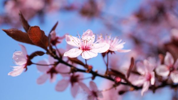 fleurs de cerisiers - sakura